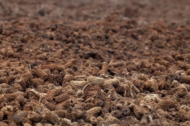 Des tas de maïs sur le sol qui est des produits agricoles pourris