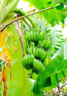 Un tas de petites bananes vertes sur un palmier