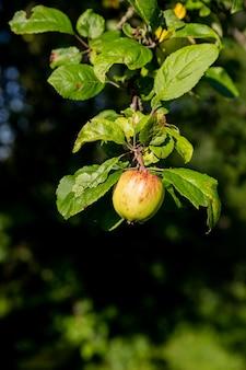 Tas de pommes vertes sur une branche prête à être récoltée