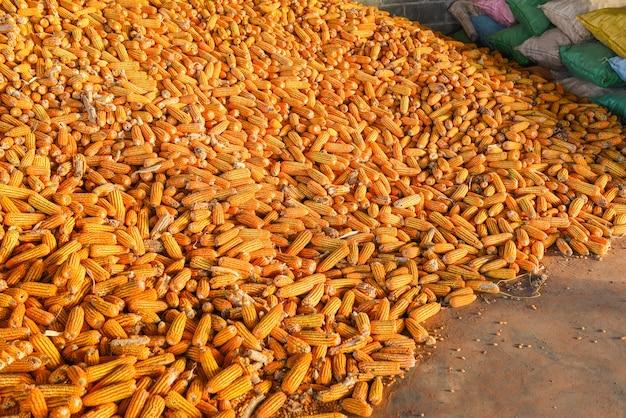 Tas de récolte de maïs mûr du champ pour l'industrie de la vente, récolte de produits agricoles asiatiques de maïs