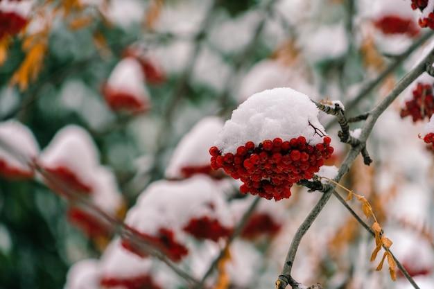 Un tas de rowan rouge sous la première neige.