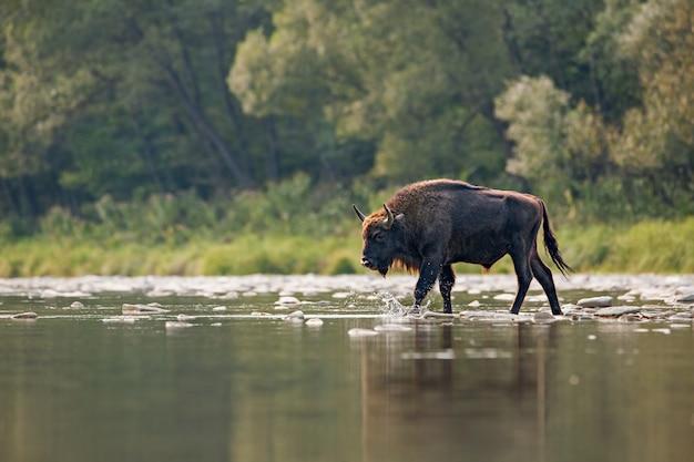 Taureau de bison d'europe traversant une rivière