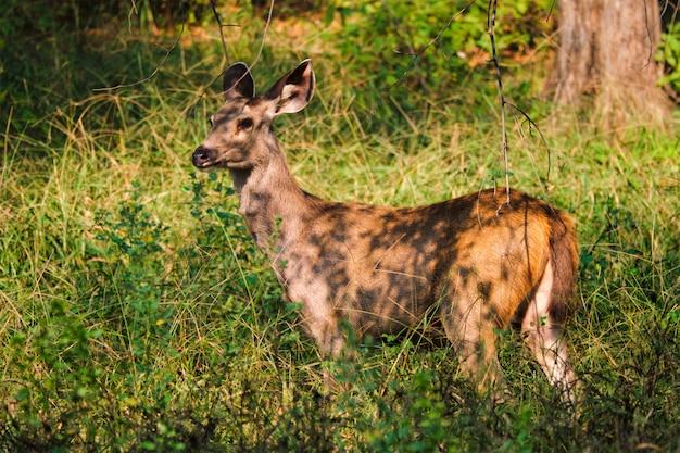 Taureau bleu femelle ou nilgai - antilope asiatique debout dans le parc national de ranthambore, rajasthan, inde