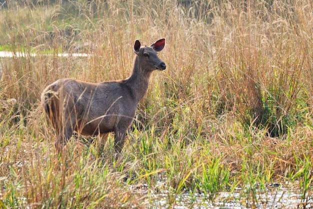 Taureau bleu femelle ou nilgai - antilope asiatique marchant dans le parc national de ranthambore, rajasthan, inde