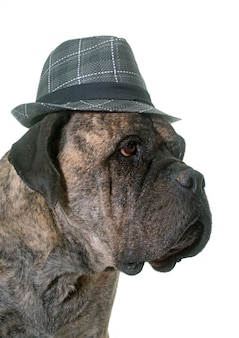 Taureau dogue et chapeau