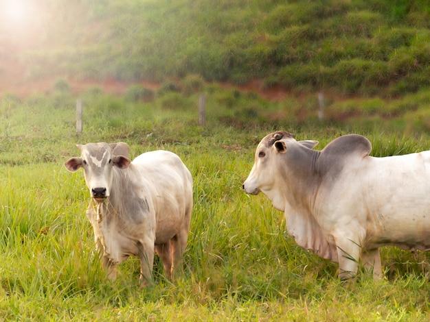 Taureau nellore dans le pâturage de fabrication au brésil. principaux bovins dans la production de viande sur le marché brésilien.