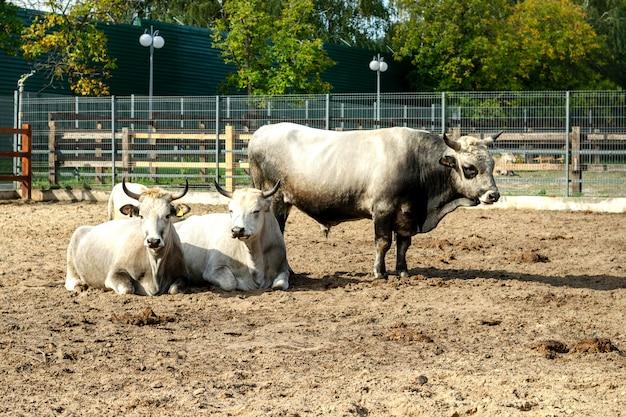 Taureau et vaches dans une clôture pour le bétail dans une ferme ou dans un zoo.