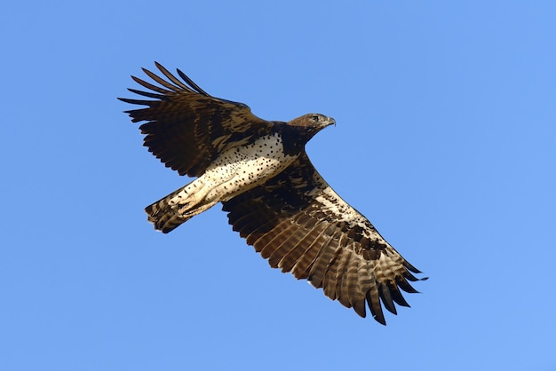 Tawny eagle (aquila rapax) voler, afrique, kenya