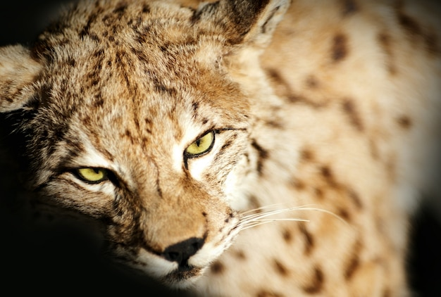 Taxidermie wild lynx