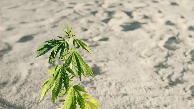 Technique de culture du cannabis, stade de croissance de la marijuana. marijuana médicale. fond de feuilles de chanvre. concept de culture de cannabis