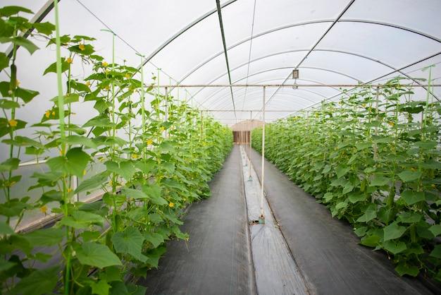 Technologie pour la culture de légumes dans les serres