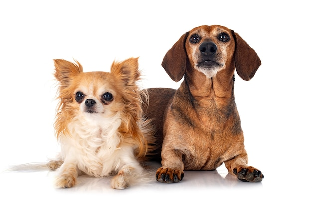Teckel brun et chihuahua in front of white background