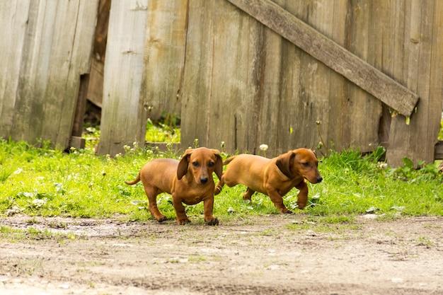 Le teckel, le chien de saucisse ou le chien de saucisse dans l'arrière-cour