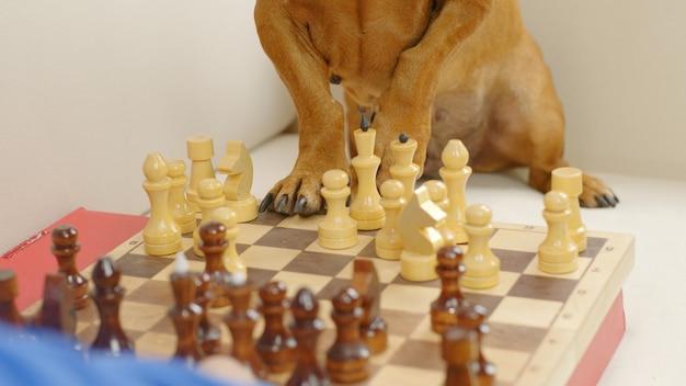 Teckel intelligent jouant aux échecs jambes de chien dressé sur l'échiquier