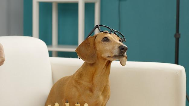 Teckel avec des lunettes est assis sur le canapé à la maison chien dressé