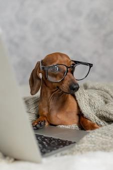 Teckel à lunettes noires recouvertes d'une couverture grise fonctionne lit regarde un ordinateur portable bureau à domicile