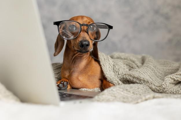 Teckel à lunettes noires recouvertes d'une couverture grise fonctionne lit regarde un ordinateur portable chien blogueur