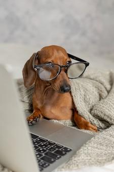 Le teckel nain dans des verres noirs couverts de couvertures grises fonctionne lit regarde le blogueur de chien d'ordinateur portable