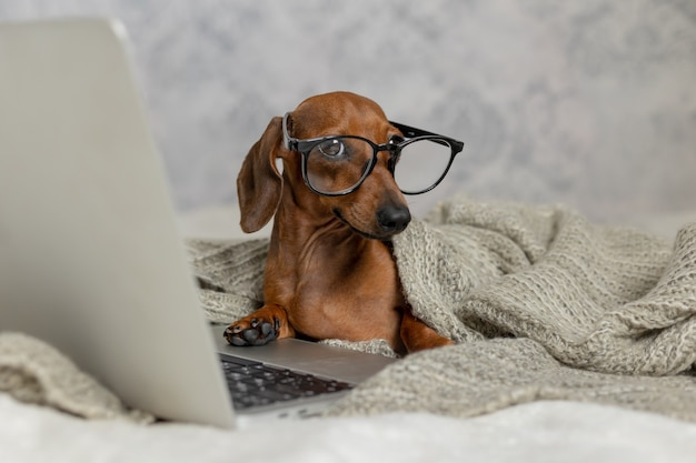 Le teckel nain de saucisse dans des verres noirs couverts d'une couverture grise fonctionne lit regarde un ordinateur portable