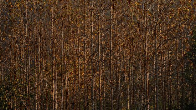 Tecks dans la forêt agricole sur la montagne