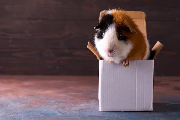 Teddy cochon d'inde grimpant sur une boîte