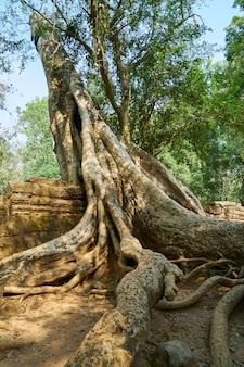 Temple d'angkor wat et arbres