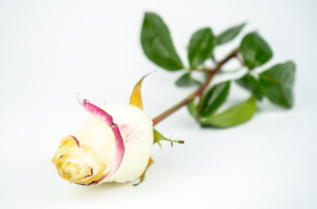 Tendre rose blanche dans une main. isolé sur fond blanc