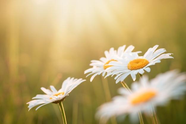 Tendres belles camomilles sous le soleil sur le terrain. fleurs de roue de marguerite, gros plan, espace de copie, maquette.