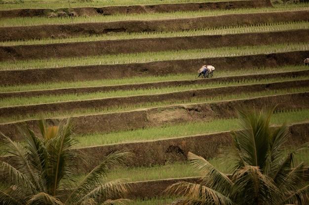 Teresses de riz