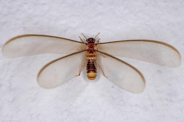 Termite ailé femelle adulte de l'épifamille des termitoidae