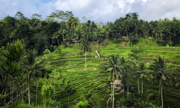 Terrasse de riz de tegallalang, ubud, bali