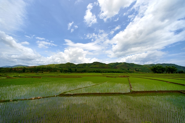 Terrasse de riz vert