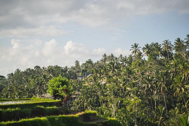 Terrasses de riz sur fond de palmiers verts, ciel bleu clair avec des nuages au-dessus des arbres