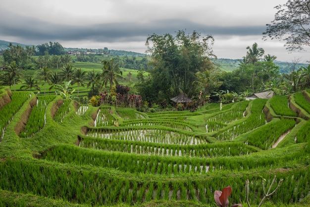 Terrasses de riz à tegallalang, ubud, bali, indonésie.