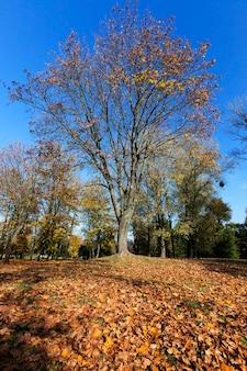Terre d'érable à feuilles, grand érable au feuillage jauni et autres arbres à feuilles caduques dans le parc d'automne à l'automne de l'automne, paysage