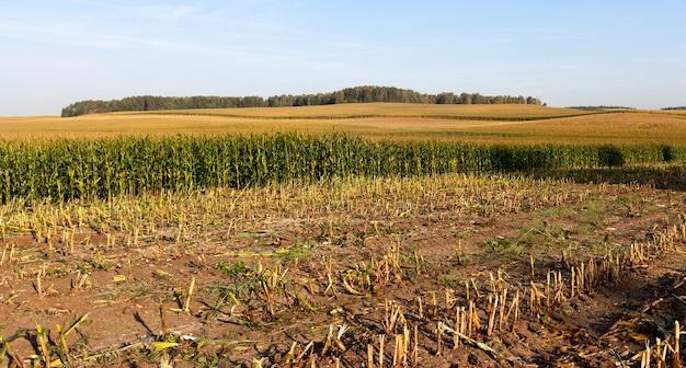 Terres agricoles avec une culture de maïs, qu'ils ont commencé à récolter pour produire de l'ensilage pour le bétail