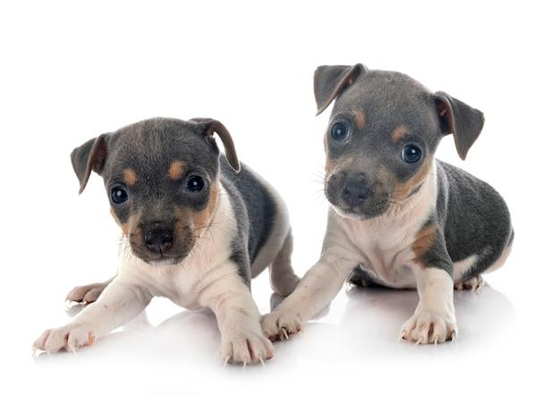 Terrier brésilien chiots isolé