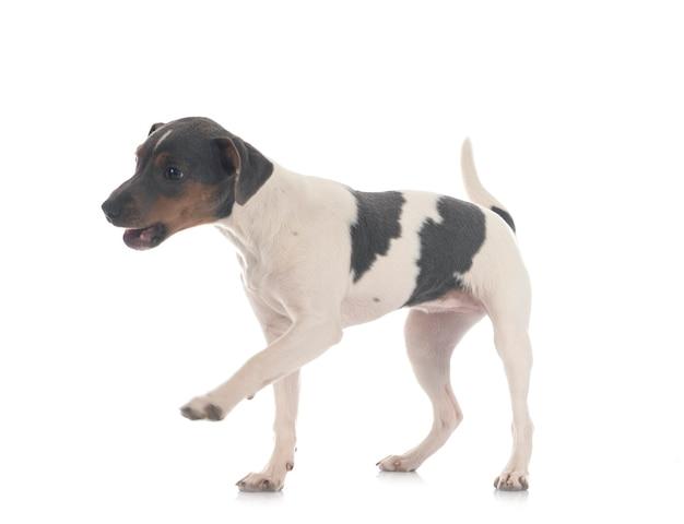 Terrier brésilien en face de la surface blanche
