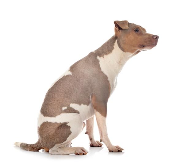 Terrier brésilien isolé sur blanc