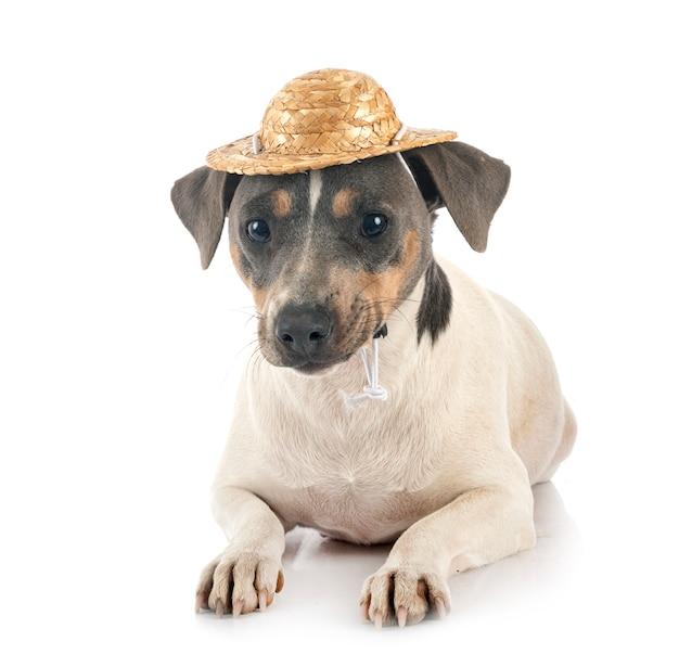 Terrier brésilien en studio