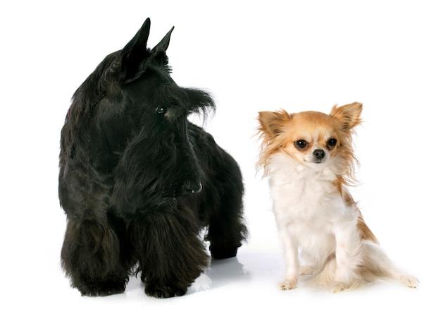 Terrier écossais et chihuahua
