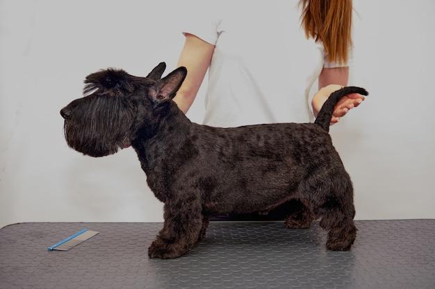 Un terrier écossais sur la table après avoir été soigné dans un salon d'animaux