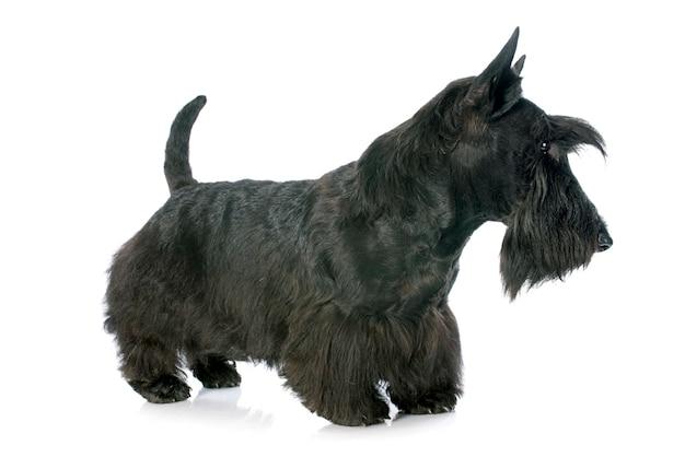 Terrier écossais