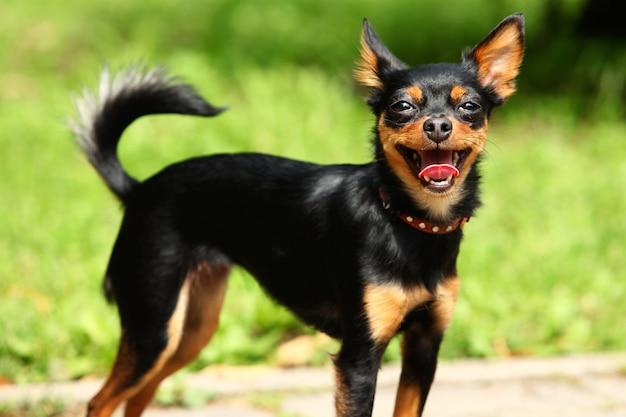 Terrier jouet mignon dans le parc