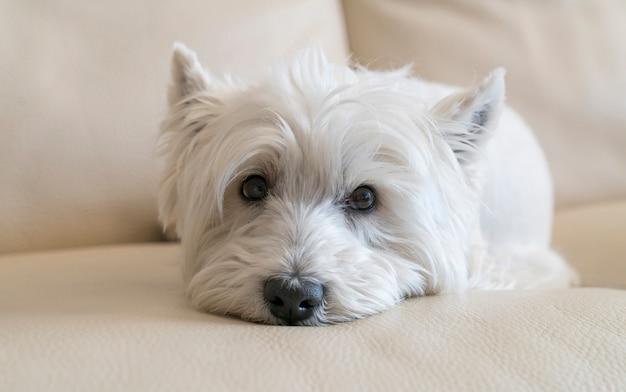 Terrier posant pose dans le canapé