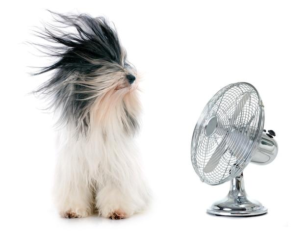 Terrier tibétain et ventilateur