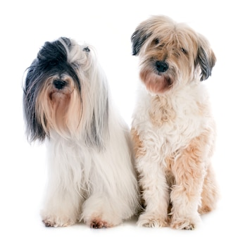 Terriers tibetains