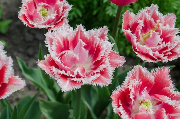 Terry tulipe frangée du queensland dans le jardin. tulipe du queensland sur le parterre de fleurs