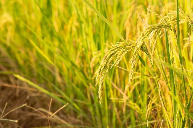 Test de conversion du riz dans le champ au nord de la thaïlande, couleur jaune riz