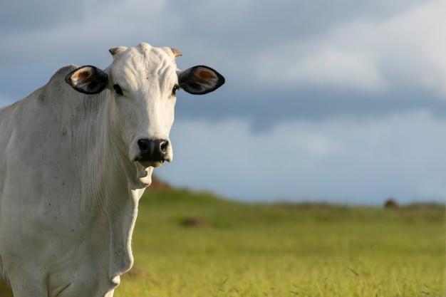 Tête de bétail nelore avec un espace réservé au texte